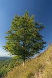 Bladboom op grote helling in de zomer Stock Afbeeldingen