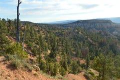 Bladbossen van Pijnbomen en Sparren in Bryce Canyon Formations Of Hodes geology Reis nave stock foto's