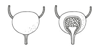 Bladder anatomy  illustration set, section Stock Photos
