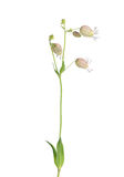 Bladder campion (Silene vulgaris) Stock Photos