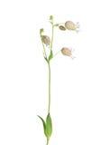 Bladder campion (Silene vulgaris) Stock Photos