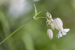 Bladder campion (Silene vulgaris) flower Royalty Free Stock Images