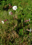 Bladder campion (Silene vulgaris) flower Stock Photography