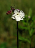 Bladder campion (Silene vulgaris) flower Stock Images