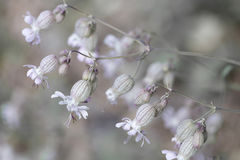 Bladder campion (Silene vulgaris) flowers Stock Photo