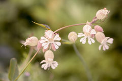 Bladder Campion Stock Photo