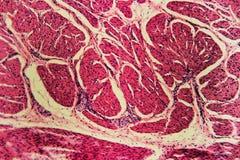 Bladder Cat- animal tissue microscope slides Royalty Free Stock Images