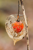 Bladder cherry. Beautiful Bladder cherry close-up,(Physalis alkekengi&#x29 Stock Photography