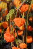 Bladder cherry. Latin name - Physalis alkekengi stock photo