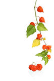 Bladder Cherry Branch Stock Images