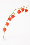 Bladder cherry in glass vase on white Royalty Free Stock Image