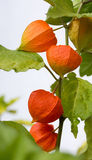 Bladder cherry plant with orange blossoms. Physalis detail shot with selective focus stock image