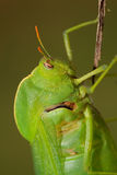 Bladder grasshopper Stock Photos