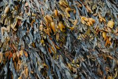 Bladder Wrack. / Fucus vesiculosus as background texture Royalty Free Stock Photography