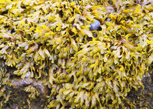 Bladder wrack. Fucus vesiculosus growing on rock royalty free stock image