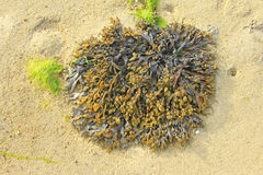 Bladder wrack. (Fucus vesiculosus) at low tide, brown seaweed from the Atlantic, Brittany, France Stock Image