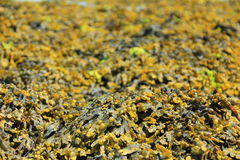 Bladder wrack Stock Images