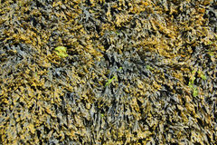 Bladder wrack. (Fucus vesiculosus) at low tide, brown seaweed from the Atlantic Ocean, Brittany, France Stock Image