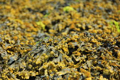 Bladder wrack Royalty Free Stock Photos