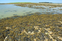Bladder wrack. (Fucus vesiculosus) at low tide, brown seaweed from the Atlantic Ocean, Brittany, France Stock Images