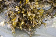 Bladder Wrack Seaweed. (Fucus vesiculosus royalty free stock images