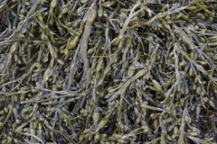 Bladder wrack seaweed. North Atlantic bladder wrack seaweed on a tidal rocky beach in Scotland. This algal plant grows in sea water in the North Sea, Baltic, and Royalty Free Stock Image