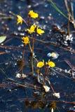 Bladderwort flowers Utricularia vulgaris above water surface stock image