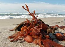 Bladderwrack. Thrown away to the edge by waves Stock Photography