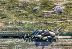 Bladderwrack growing between old mossy planks from close Stock Images