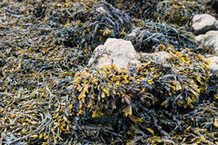 Bladderwrack growing on rocks from close Stock Photo