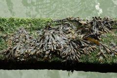 Bladderwrack or rockweed or sea oak or black tany or cut weed. Bladder wrack or bladderwrack or rockweed or sea oak or black tany or cut weed , Fucus vesiculus Royalty Free Stock Photo