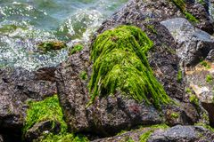 Seaweed on the sea rock. royalty free stock images