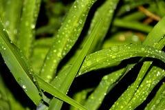 bladdroppar gräs vatten Royaltyfria Foton