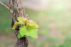 Bladdruvaträd arkivfoton