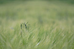 Blade of grass Royalty Free Stock Image