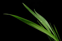 Blade of grass on black background Royalty Free Stock Photography
