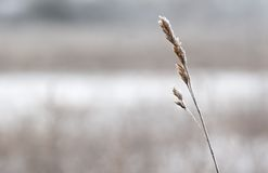Blade of grass covered with snow Stock Photos