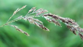 A blade of grass in the dew, macro video stock video footage