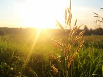 Blade of grass in field at sunset Stock Photos