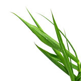 Blade of grass isolated on white Stock Images