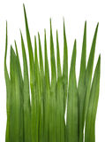 Blade of grass isolated on white Royalty Free Stock Photos