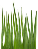 Blade of grass isolated on white Royalty Free Stock Images