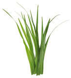 Blade of grass isolated on white. Background. Clipping Path included for your design stock photo