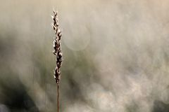 Blade of grass in the morning light Stock Photography