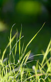 Blade of grass in morning light Stock Image