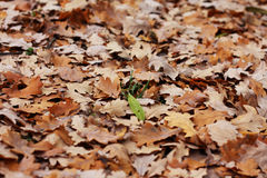 Blade of grass among oak's leafs Stock Photography