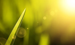 A blade of grass in summer Stock Images