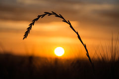 A blade of grass at sunset with sun in background. Blade of grass at sunset with sun in background stock photo