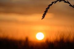 A blade of grass at sunset. With sun in background royalty free stock image