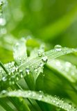 Blade of Grass and Water Droplet Royalty Free Stock Image